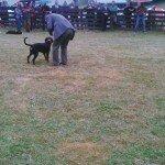 Słowacki kopov - spokojny pies dla spokojnego myśliwego