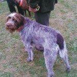 Wyżeł szorstkowłosy - kapitalny pies na ptactwo